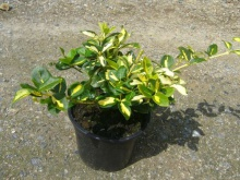 Euonymus fortunei ´Blondy´- brslen Fortunův ´Blondy´